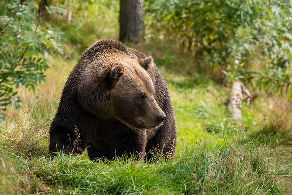 Brown Bear of Namsskogan
