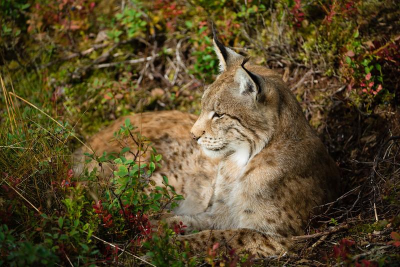 Resting Lynx