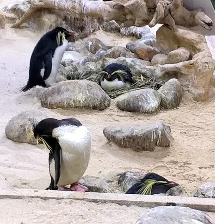 Rockhopper penguins have cool headdresses!