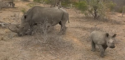 a rhino and her baby...