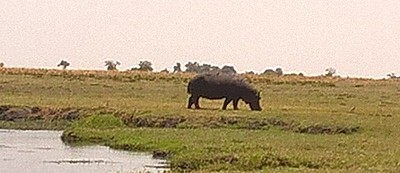 And hippos on land.