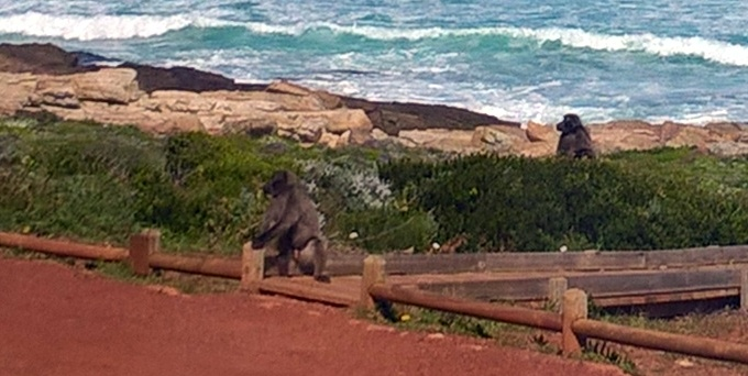 Bit blurry but saw several baboons near the southern tip.