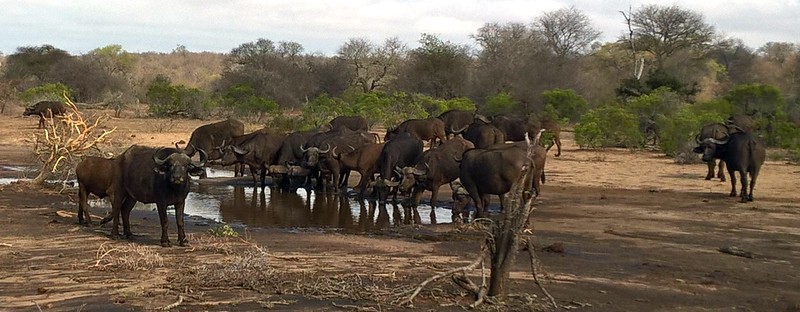 A herd of Cape Buffalo.