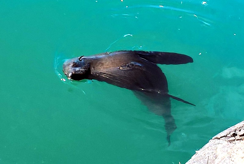 Here is a seal hanging out near the harbor.