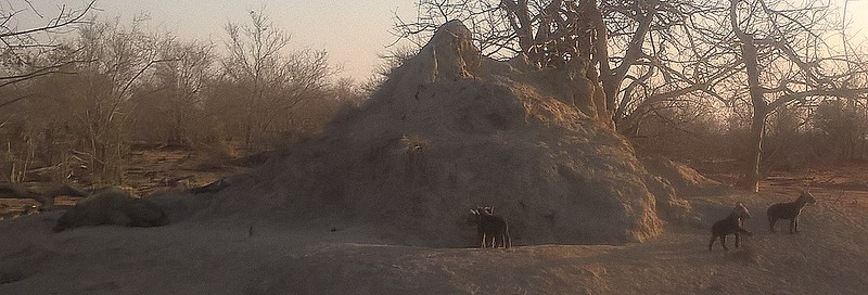 The mound was created by termites who abandoned it. The hyenas have taken over to keep their young cool in the hot sun. An adult is napping on the left. Youngsters are emerging from the mound as the day cools off.