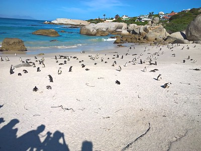 We stopped at Boulders Beach where wooden walkways are built above the sand so visitors can see the penguins without interferring with them.