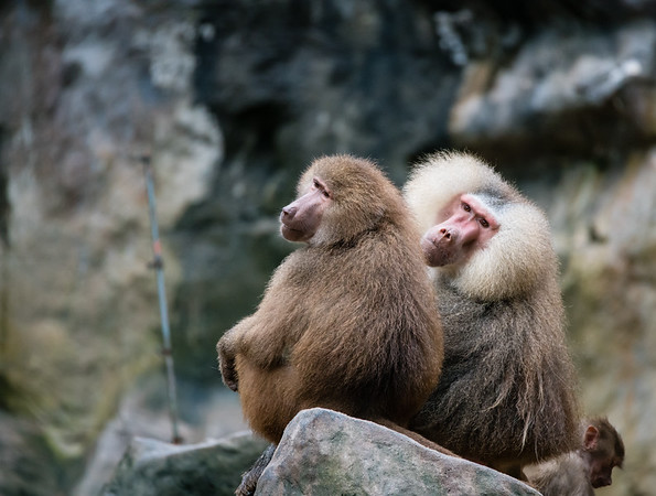 Baboon couple :)