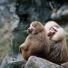 Baboon couple :)