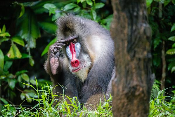 Saluting monkey