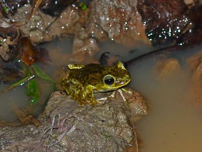 Tree Frog - Guyana