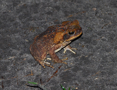 Cane Toad - Guyana