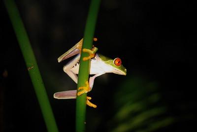 Gaudy Tree Frog, Costa Rica 2008 ak