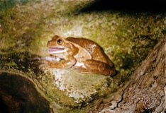 Frog in tree hollow, Costa Rica 2008 ak