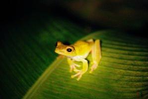 Tree frog on leaf found by head torch, Costa Rica 2008 ak