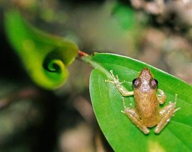 Tree Frog, Costa Rica 2008 ak