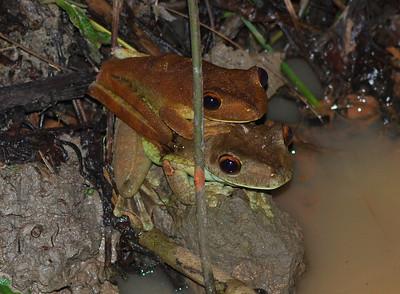 Tree frogs mating - Guyana