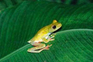 Tree Frog on palm leaf, Costa Rica 2008 ak