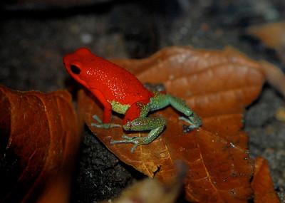 Granulated Tree Frog, Costa Rica 2008 ak