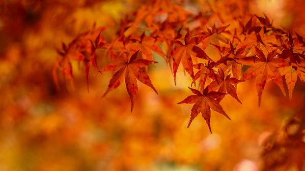 Tree Of Fire |夜楓