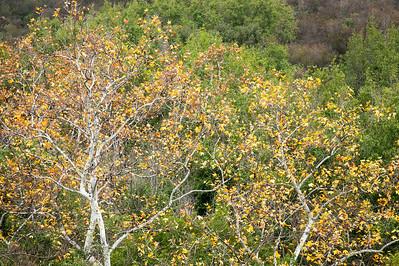Sycamore Trees in Autumn, Santa Ynez Mountains, Ca.