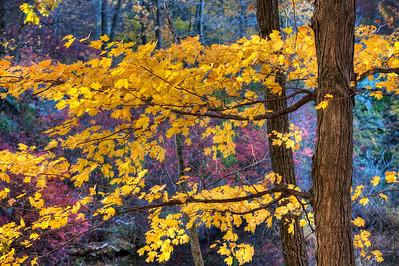 Maple in Autumn. Harriman State Park. N.Y.