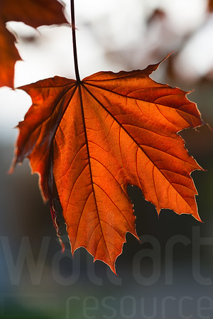 Autumn Maple Leaf 00 | Wall Art Resource