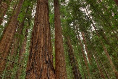 Redwoods, Hendy Grove