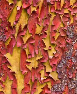 Madrone Bark, San Francisco, 2009