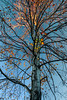 Autumn tree with blue sky 1
