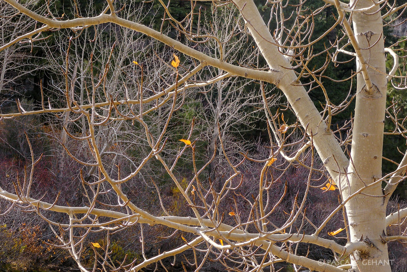 Lacy branches