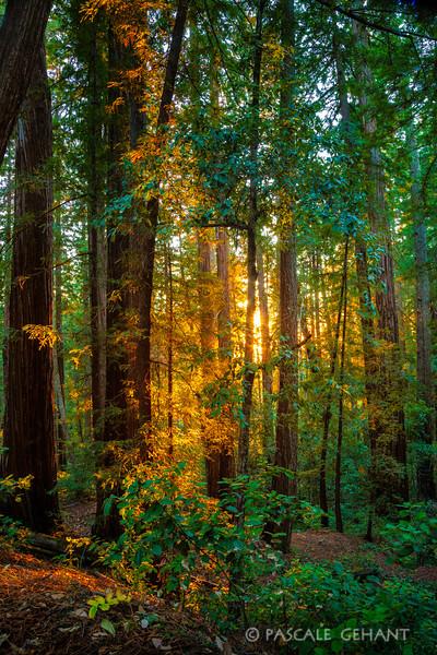 Golden light through the woods