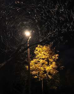 Oregon Ash & Streetlight, Portland, 2017