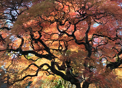 Japanese Maple, Portland, 2020