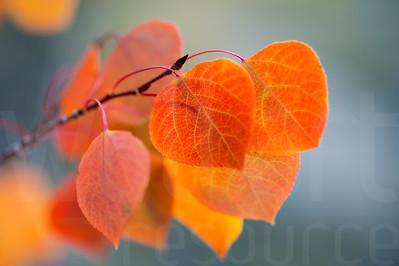 Aspen Leaves In Autumn 046 | Wall Art Resource