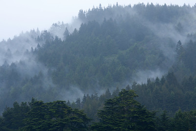 Redwoods in the Mist, Mendocino Ca.