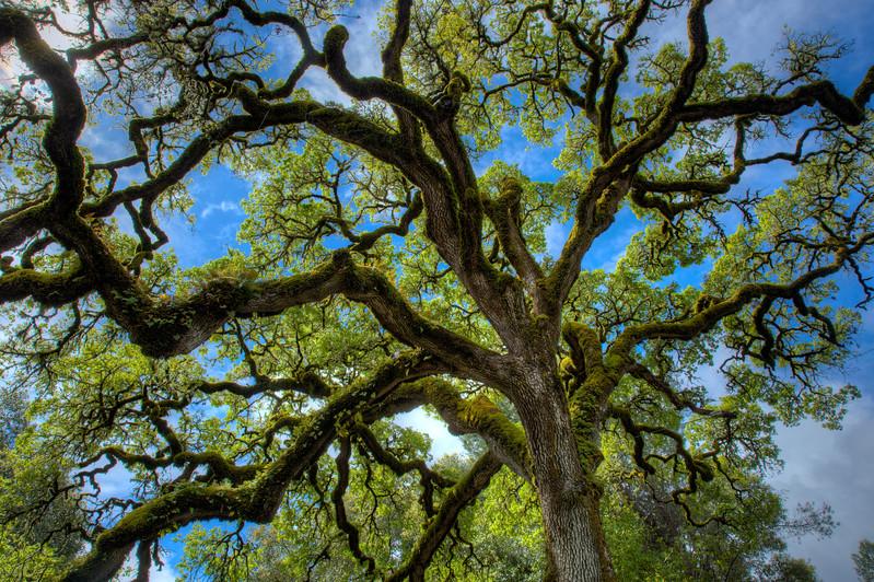 Oak Tree, Northern California Coast