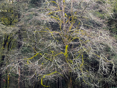 Bare Palo Verde, Arboretum, Portland, 2021