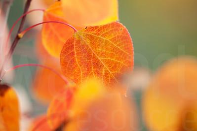 Aspen Leaves In Autumn 051 | Wall Art Resource