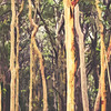 Abstract Australian Eucalyptus forest