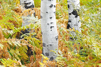 Fern and Aspen Trunks 2