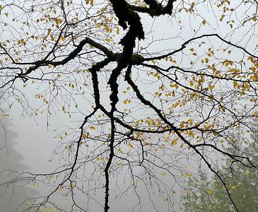 Birch, Hoyt Arboretum, Portland, 2020