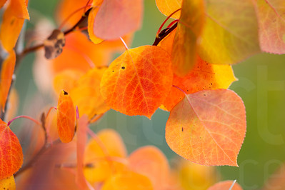 Aspen Leaves In Autumn 050 | Wall Art Resource