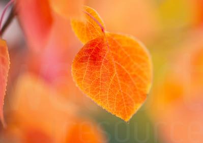 Aspen Leaves In Autumn 044 | Wall Art Resource