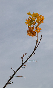 Last Leaves, English Oak, Powell Butte, 2020
