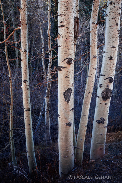 Aspen trees 2