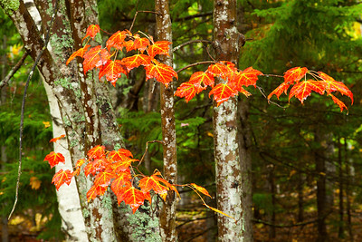 Autumn leaves. Acadia National Park, Maine