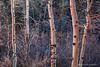 Aspen trees 3