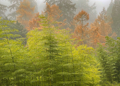 Bamboo & Larch in Fog, Portland, 2020