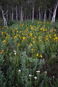Aspen and Wildflowers 1
