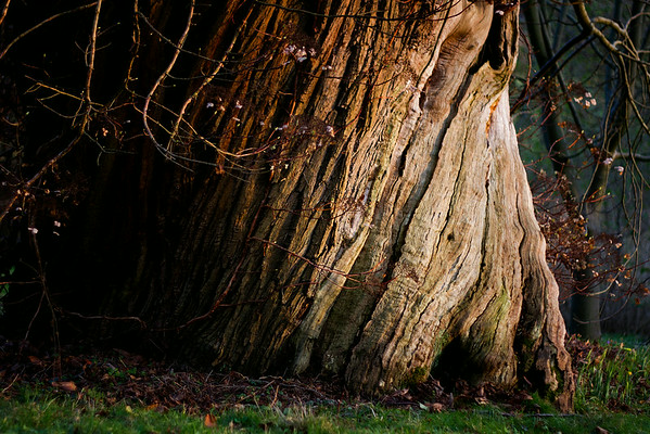 Sweet Chestnut Twisted Tree Bark - Being with Trees